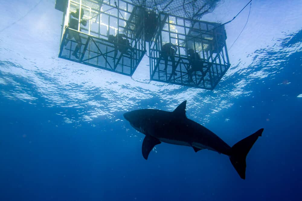 best shark cage diving